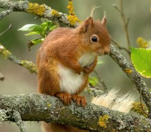 Squirrel Red Branch Animal
