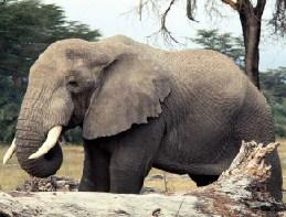 Big Elephant Jigsaw