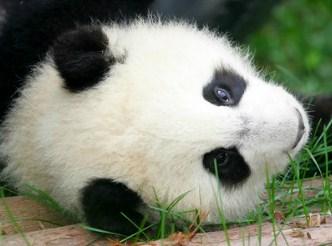 Giant Panda Cub Jigsaw Puzzle