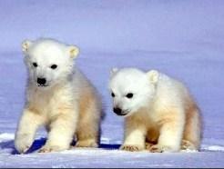 Polar bear babys