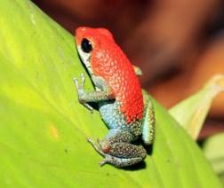 Strawberry Frog Jigsaw Puzzle