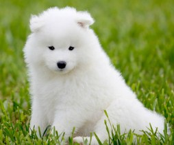 Fluffy White Puppy Jigsaw Puzzle
