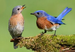 Pair Of Eastern Bluebirds Jigsaw Puzzle