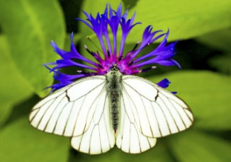 White Cabbage Butterfly Jigsaw Puzzle