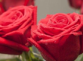 Jigsaw Red Roses
