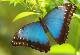 Menelaus Blue Morpho Butterfly Jigsaw Puzzle
