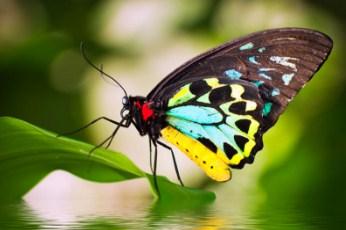 Cairns Birdwing Butterfly Jigsaw Puzzle