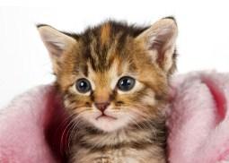 Kitten In Pink Blanket