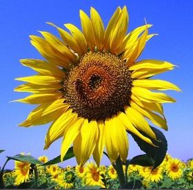 Sunflowers Jigsaw Planet