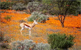 Desert Bloom Namaqualand in South Africa