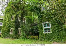 House Covered With Green Ivy Background