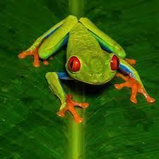 Red Eye Frog Jigsaw