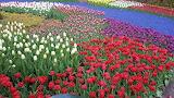 Tulips in Keukenhof Gardens Holland