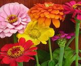 Desenhos de Zinnia Flower Jigsaw Puzzle para colorir